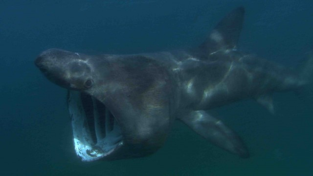 Basking shark, New England. Credit: Florian Graner