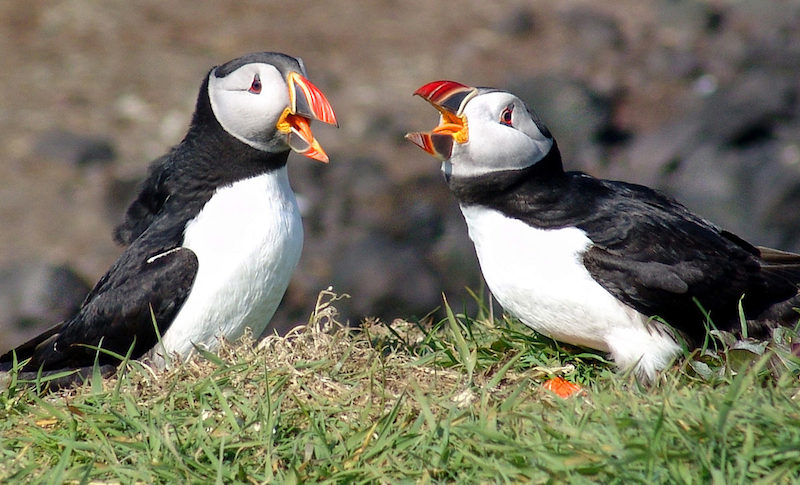 Atlantic Puffins Photo Credit: Steve Deger
