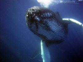 humpback_whale_sea 2