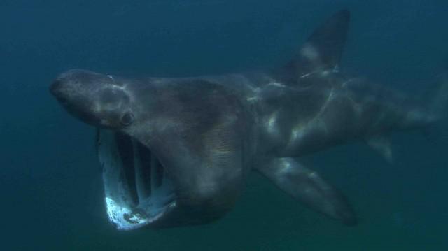 Basking shark, New England. Credit: Florian Graner