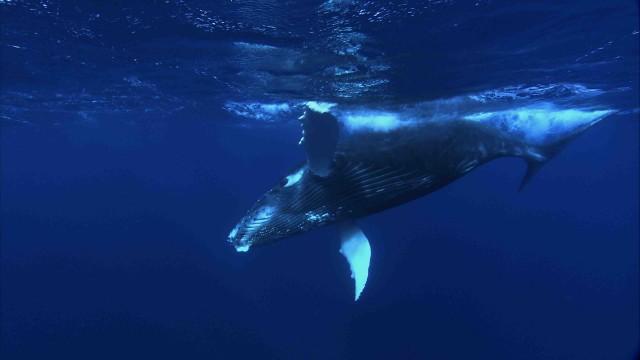 Humpback whale calf, off the Atlantic coast. Photo by Florian Graner