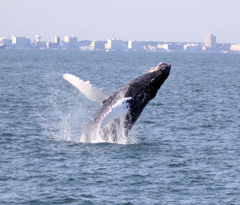 humpback whale breaching off VA Bch 300 dpi edited cropped